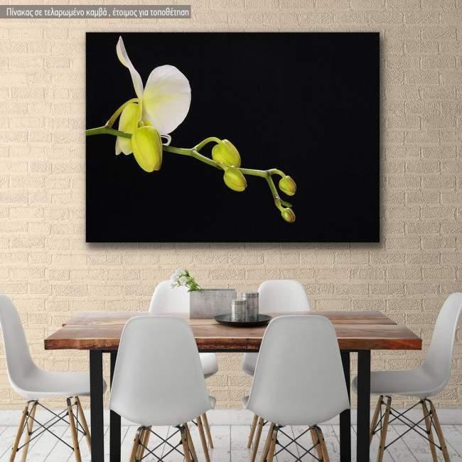 Πίνακας σε καμβά Ορχιδέα, Orchid on black background