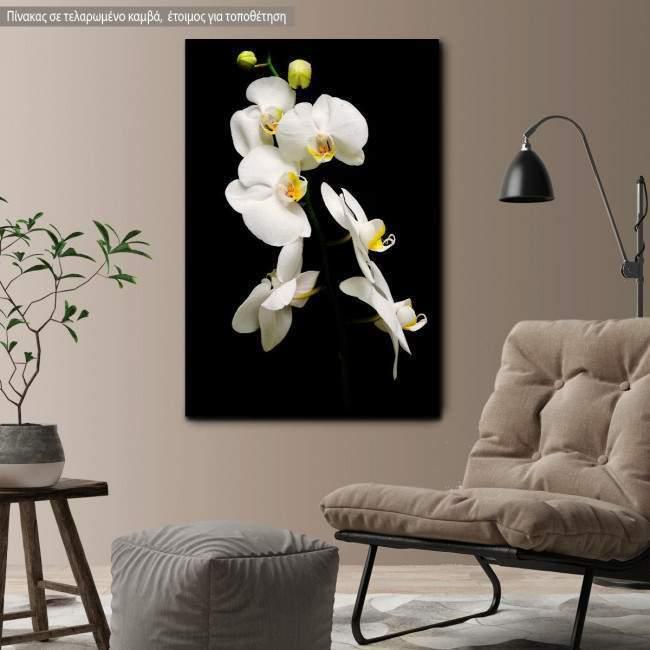 Canvas print Orchidaceae Phalaenopsis