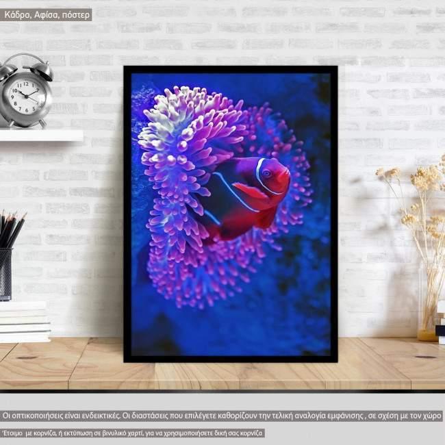 A clownfish, @davidclode, Poster